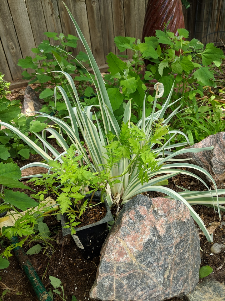 german variegated iris with Lemony Lace Sambucus